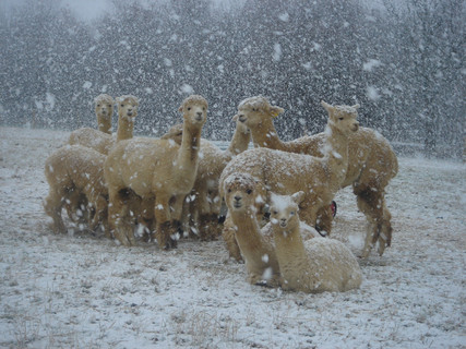 Caring for Alpacas and Llamas  in Winter