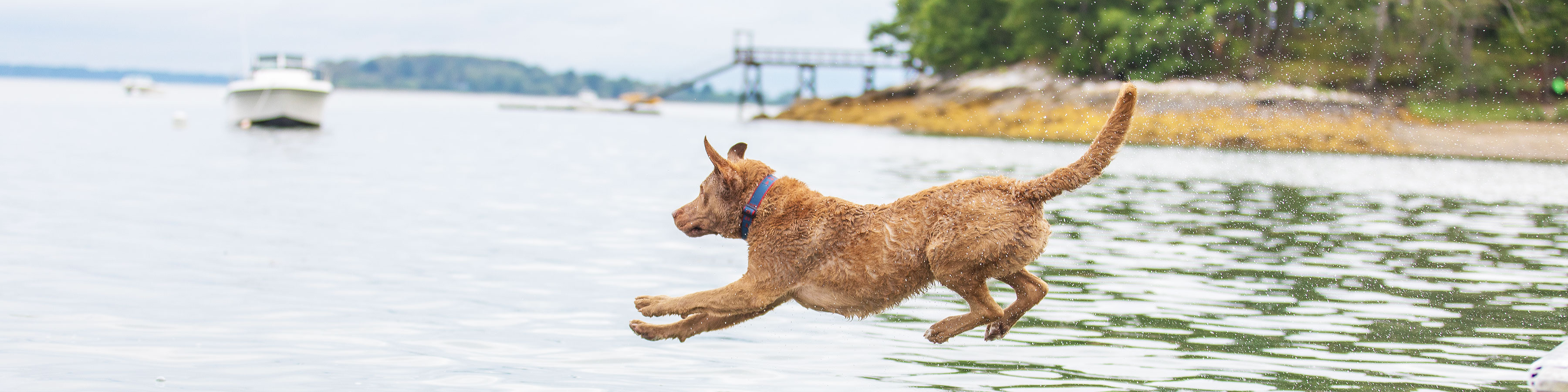 Dog Jumping into Water