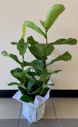 70cm Fiddle Leaf Fig