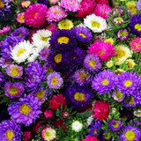 MARKET SPECIAL - Asters in vase