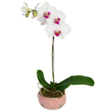 Exquisite Orchid Plant