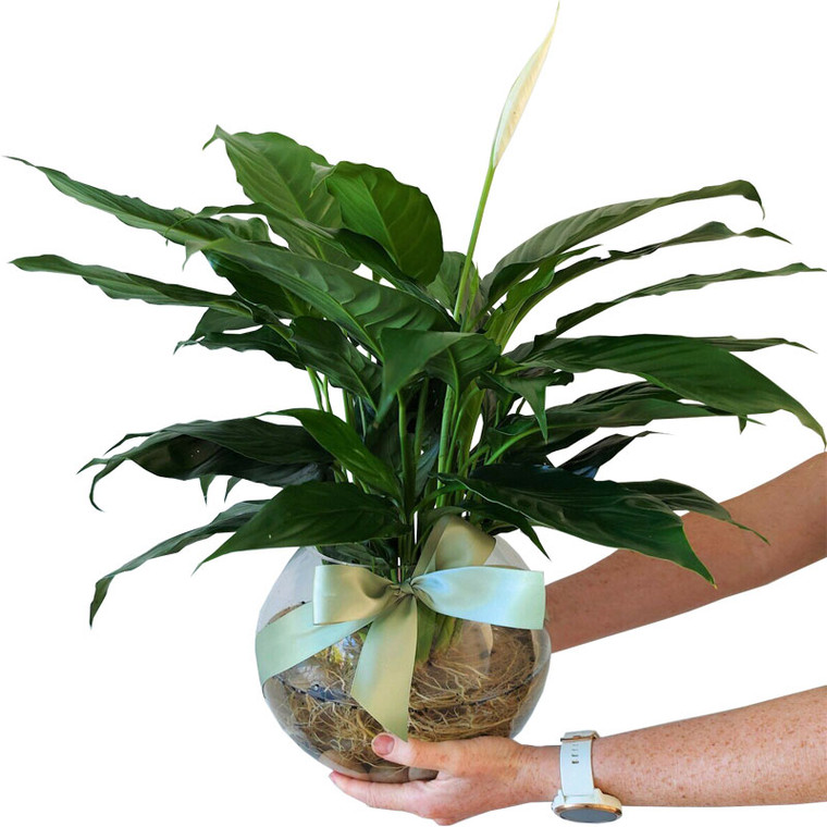 Large Hydro Peace Lily in Fish Bowl