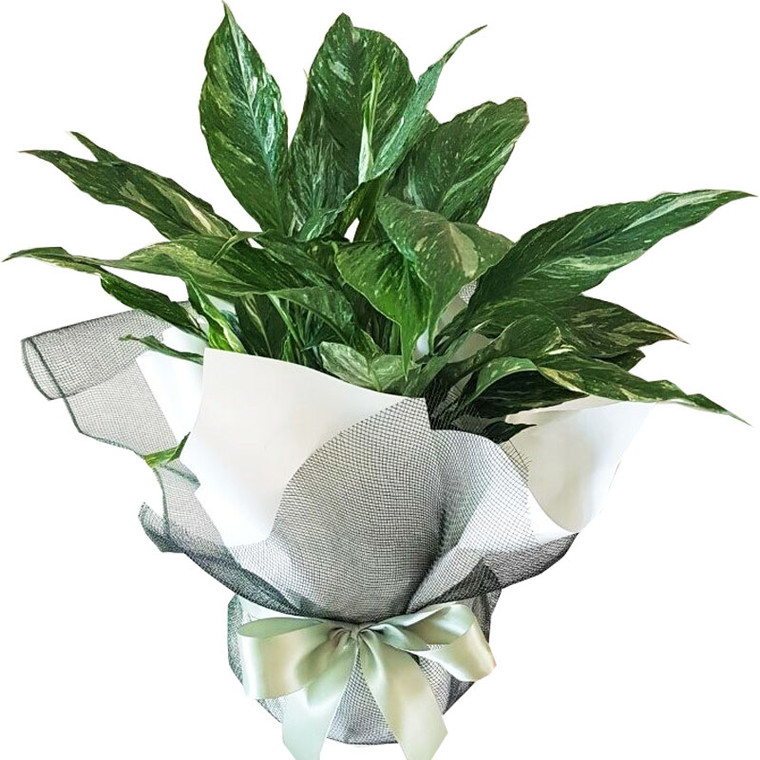 Variegated Domino Peace Lily