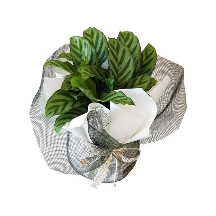 Calathea Freddy Potted Plant
