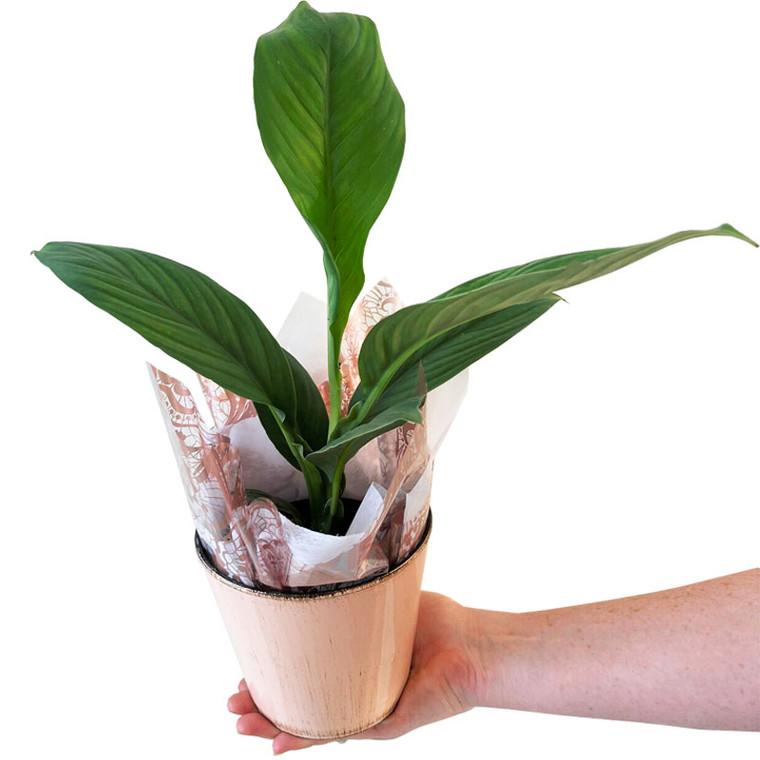 Mini Peace Lily 'Spathiphyllum Sensation'