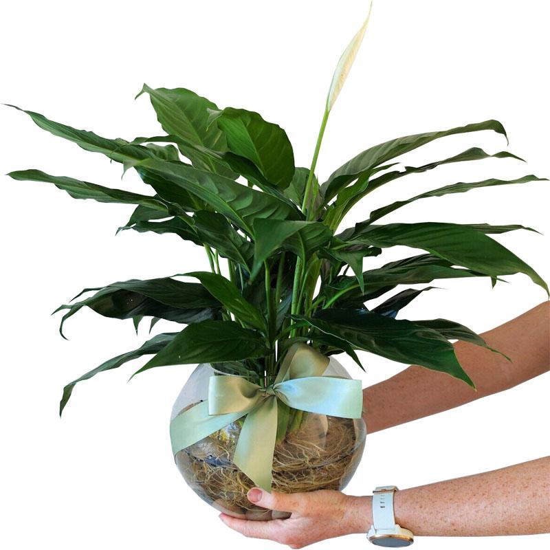 hydro-peace-lily.jpg