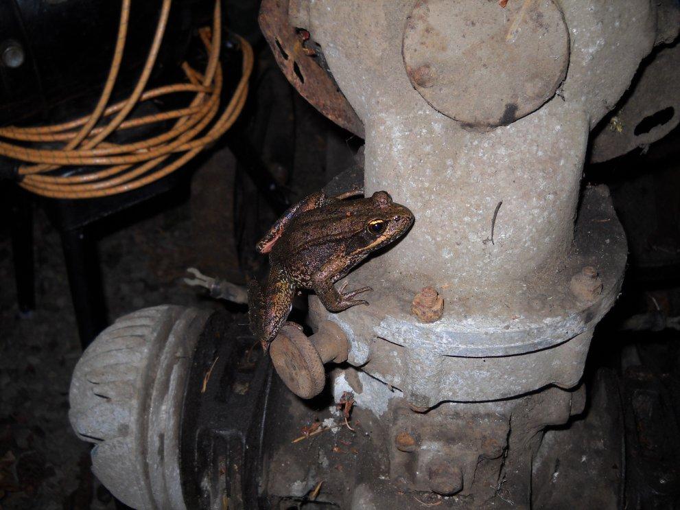 brownfrog-and-saw-skinny.jpg