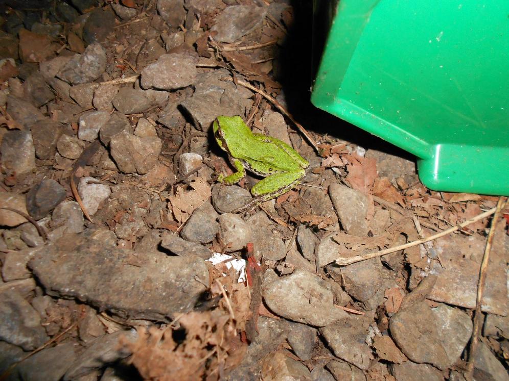 greenfrog-995.png