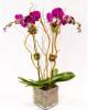Double Purple Orchid Plant