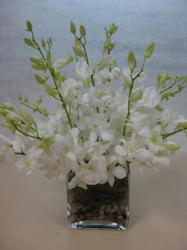 Dendrobium Square