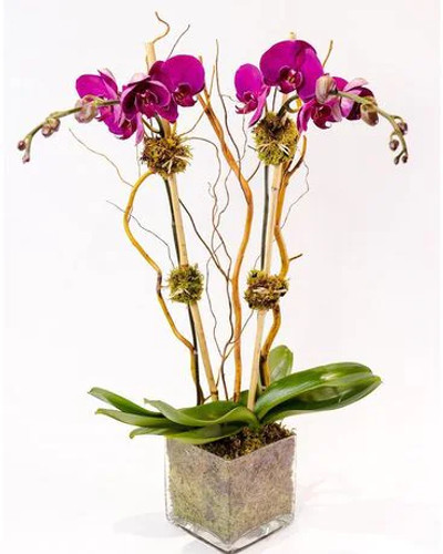 Double Purple Orchid Plant