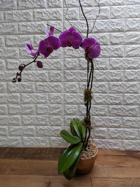 Purple Orchid Plant