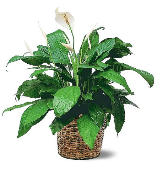 Large Peace Lilly