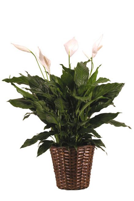 Peace Lilly in a basket
