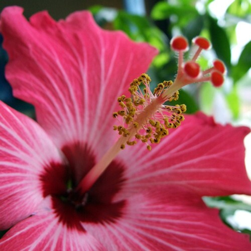 Hawaiian Pink Hibiscus (Type) Fragrance Oil