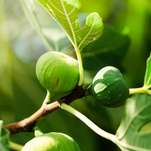 Fig Tree (Type) Fragrance Oil