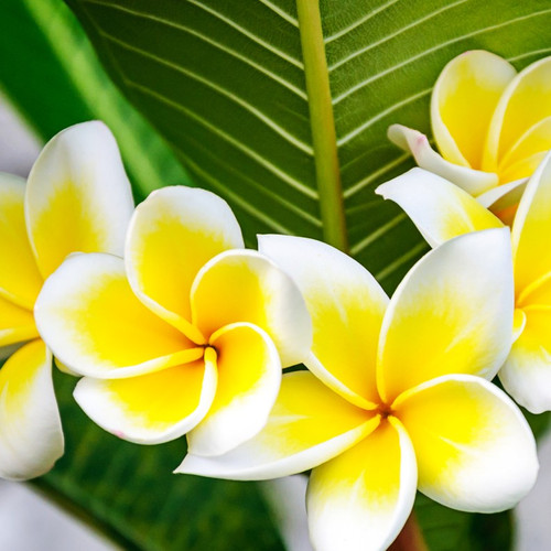 Tropical Plumeria Fragrance Oil
