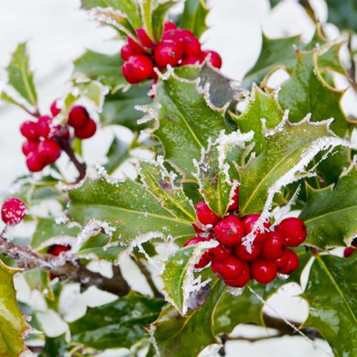 Winter Berry Fragrance Oil
