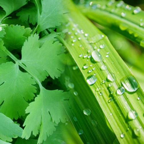 Coriander Lemongrass Fragrance Oil