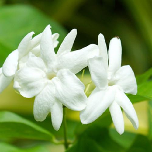 Jasmine Fragrance Oil