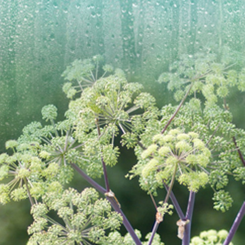 Rain & Angelica (Type) Fragrance Oil