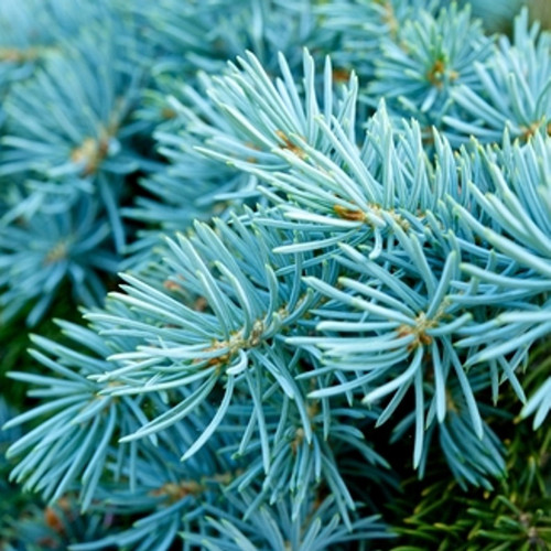 Blue Spruce Fragrance Oil