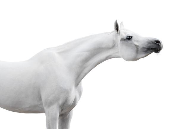 I believe in Unicorns....Bitting the Arabian horse