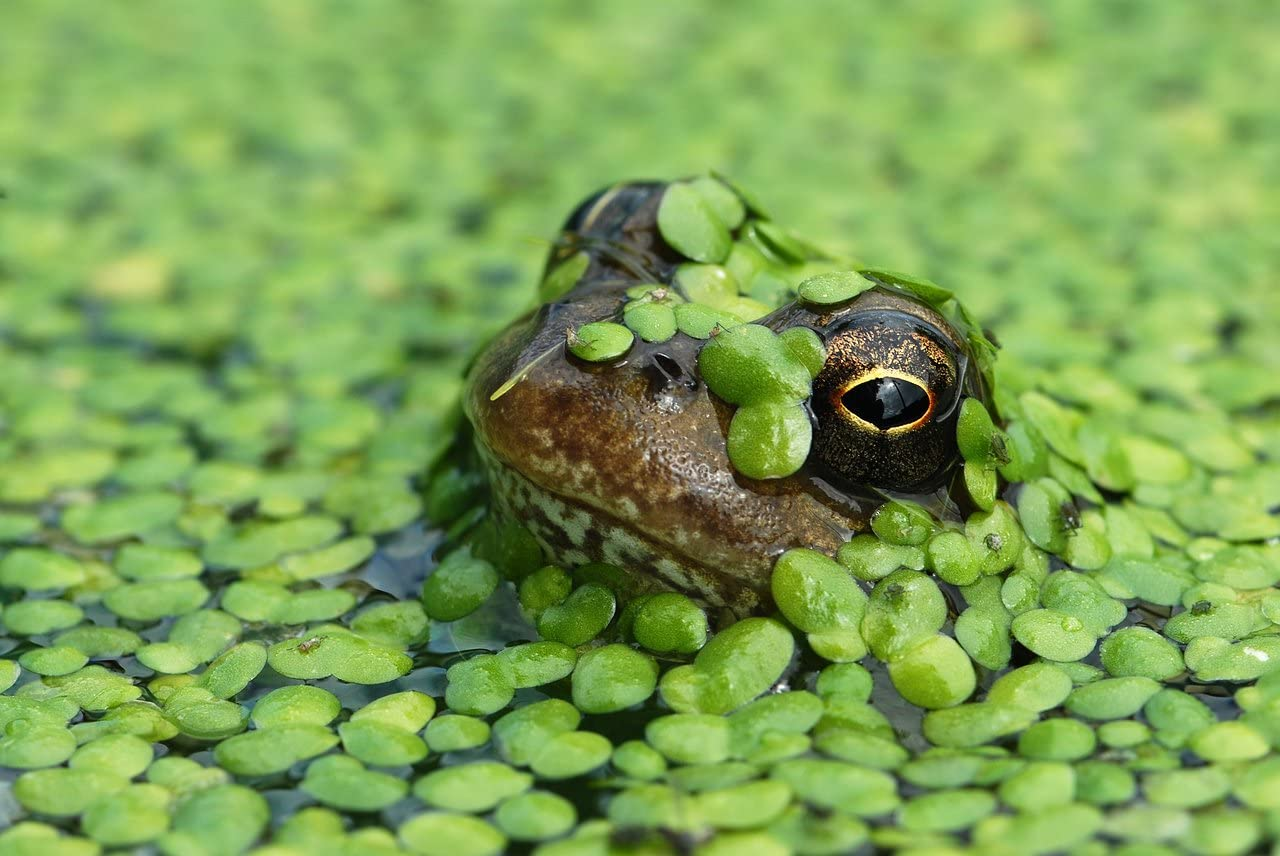 duck-weed-frog.jpg