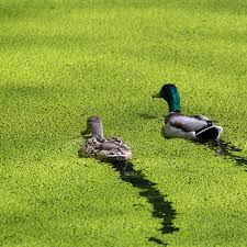 ducks-duckweed.jpeg
