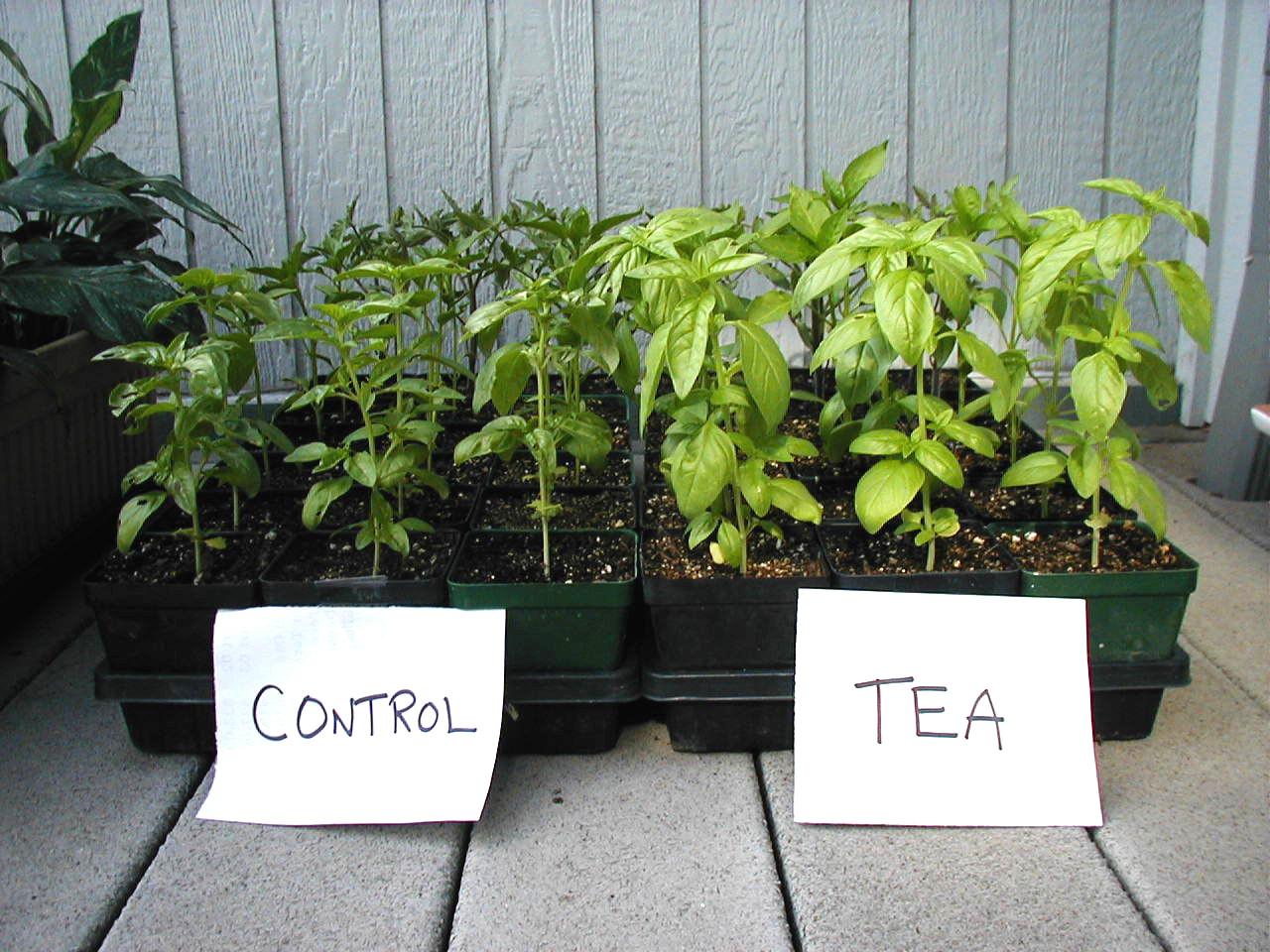 compost tea is good for you  - Basil plants