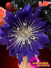 CHARISMATICO Beautiful Flower Styled Purple And Black Feather Headdress With Crystals