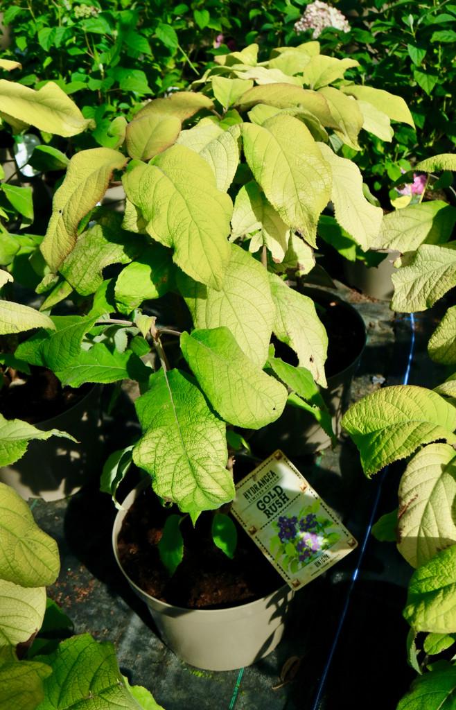 Hydrangea aspera sargentiana 'Gold Rush' ('Giel') (PBR) - 10Litre