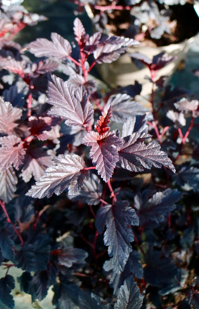 Physocarpus opulifolius 'All Black' ('Minall2'PBR) - 7.5Litre