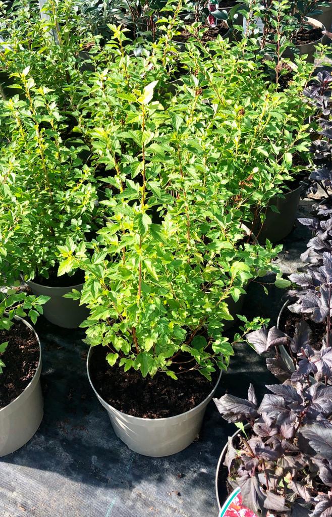 Physocarpus opulifolius 'Raspberry Lemonade' - 10Litre