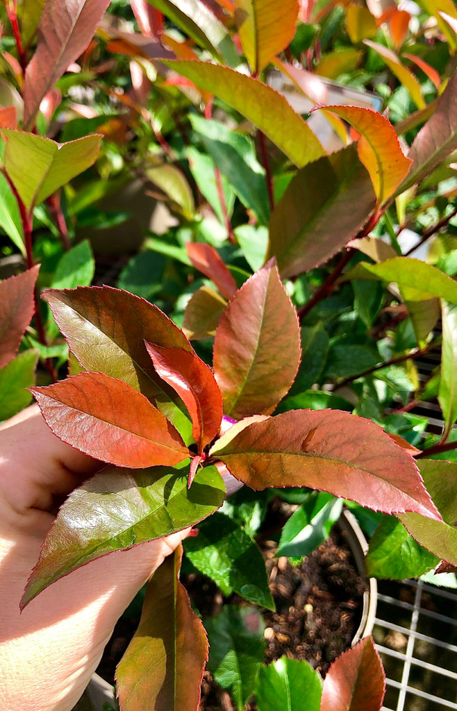 Photinia 'Carre Rouge' - 10Litre