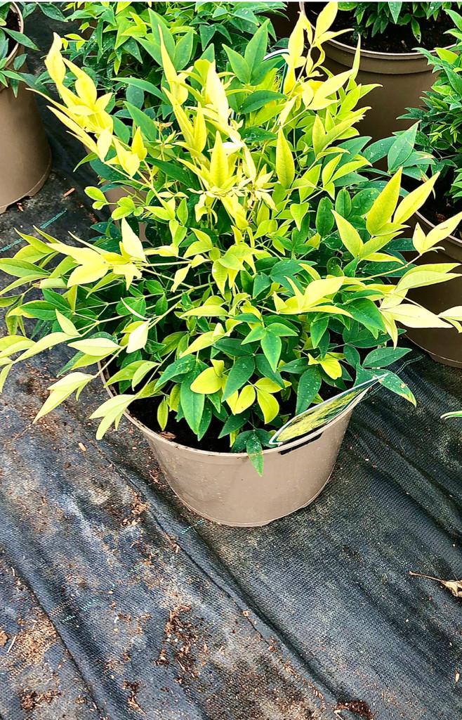 Nandina domestica 'Lemon-Lime' (PBR) - 7.5Litre