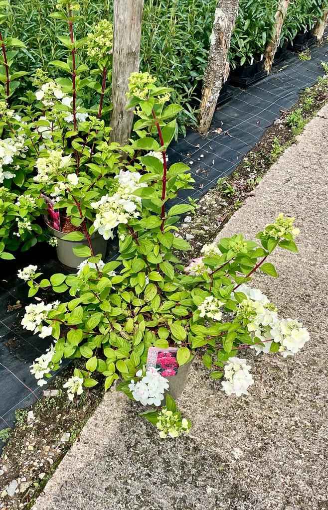 Hydrangea paniculata 'Diamant Rouge - 10Litre