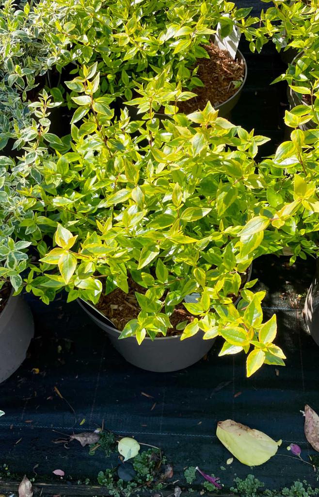 Abelia × grandiflora 'Kaleidoscope'PBR (v)  - 7.5Litre