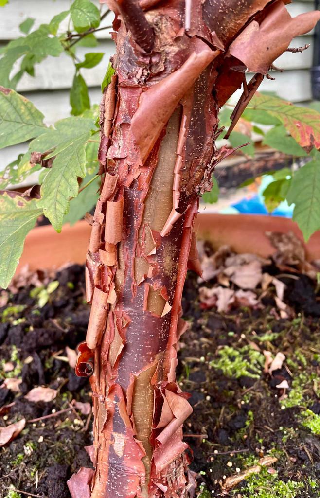 Acer griseum - 10Litre