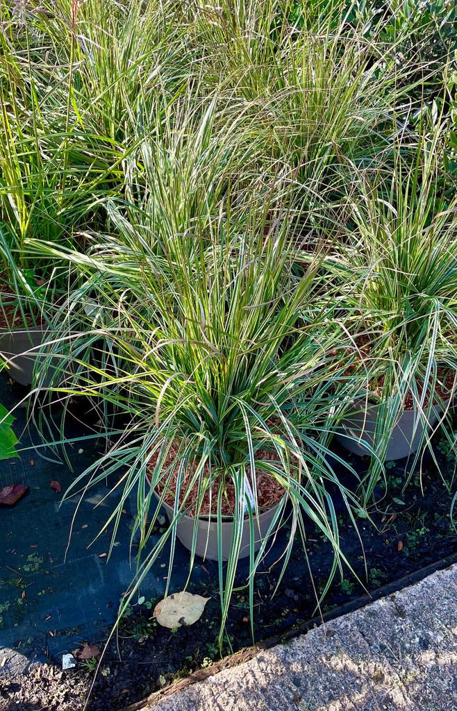 Calamagrostis × acutiflora 'Overdam' (v) - 10Litre