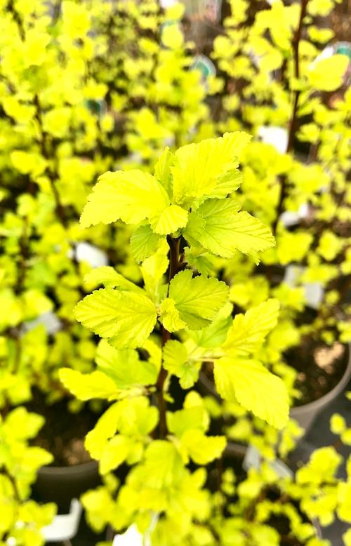 Physocarpus opulifolius 'Darts Gold'