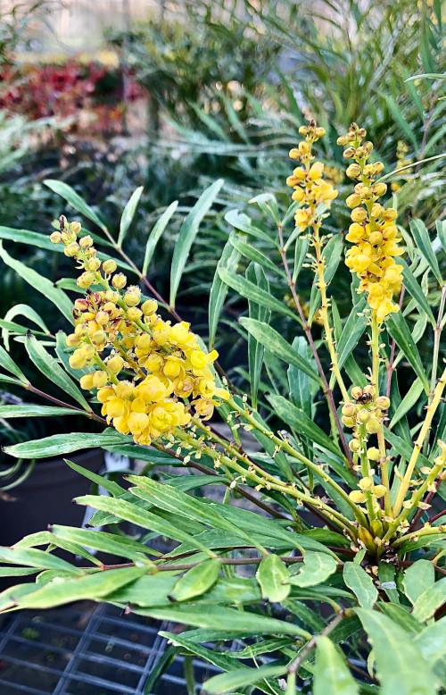 Mahonia eurybracteata subsp.ganpinensis 'Soft Caress' (PBR)