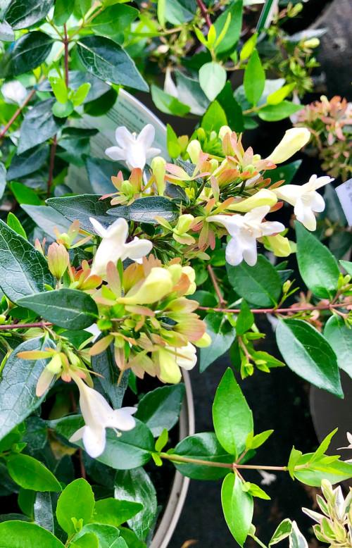 Abelia × grandiflora - 7.5Litre
