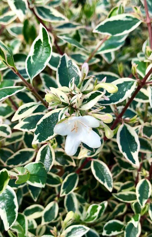 Abelia × grandiflora Confetti = 'Conti' (PBR) (v) - 7.5Litre