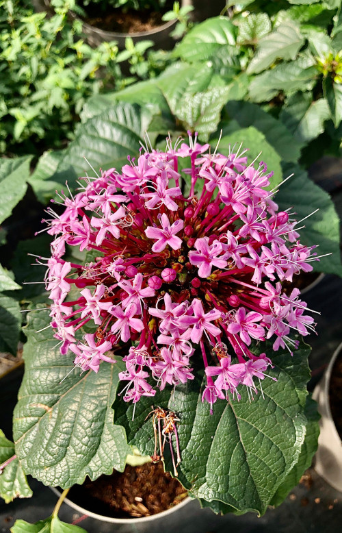 Clerodendrum bungei - 10Litre