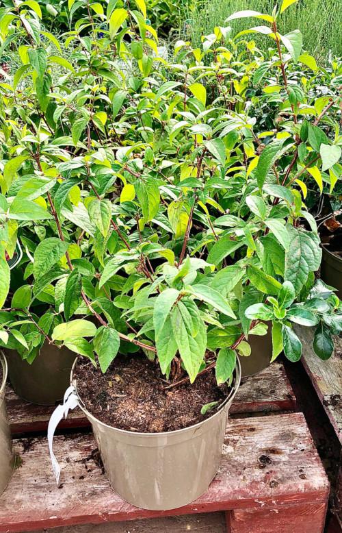 Deutzia × hybrida 'Strawberry Fields'