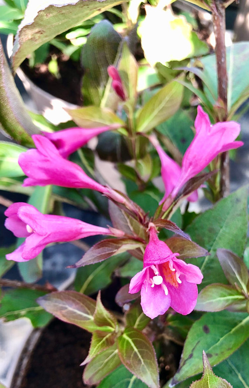 Weigela florida 'Pink Poppet' (PBR) - 7.5Litre