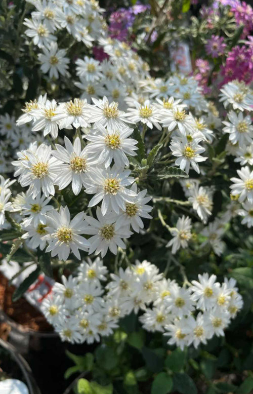 Olearia x scilloniensis - 10Litre