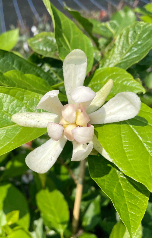 Sinocalycanthus (Calycanthus ×) raulstonii 'Venus'