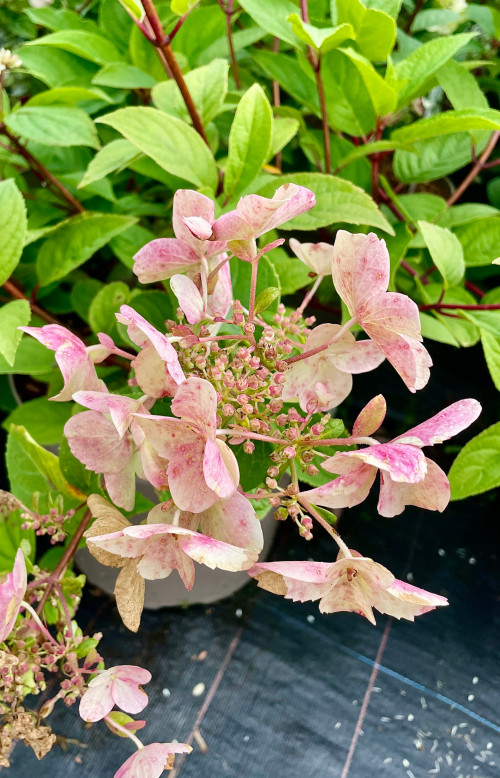 Hydrangea paniculata 'Wim's Red' - 10Litre